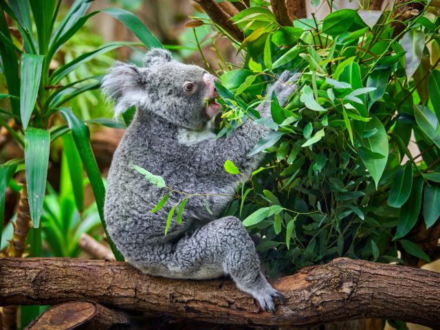 Koala in einem Zoo in Deutschland