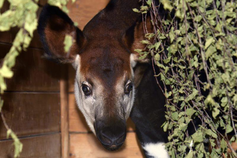 Kölner Zoo: seltenes Okapi-Jungtier