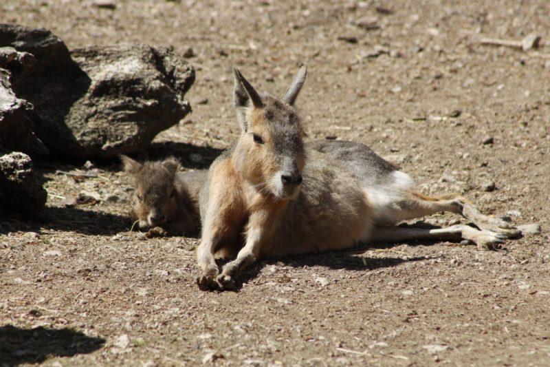 Tierpark Gotha freut sich über Nachwuchs bei den Maras