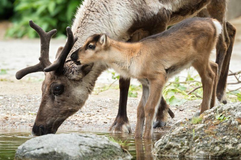 Rentier-Babys zur Wiedereröffnung des Tiergarten Schönbrunn