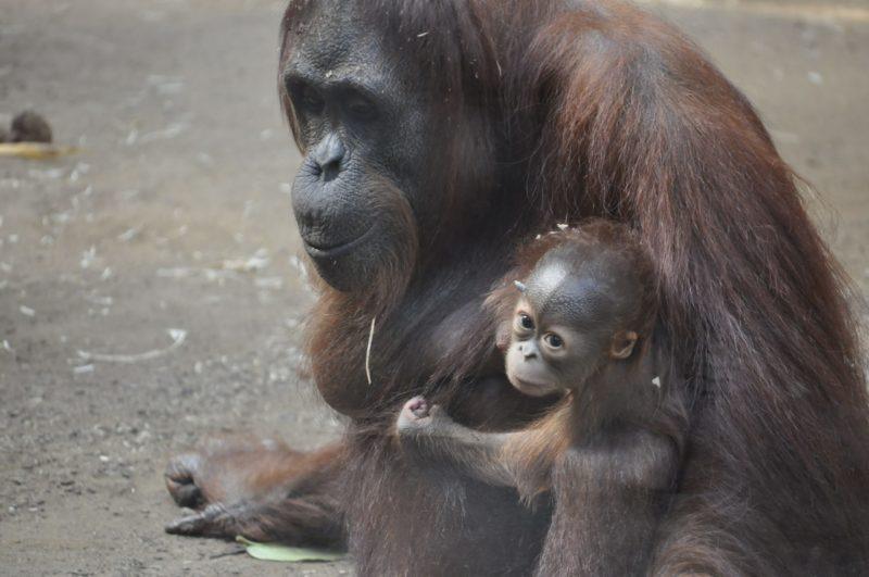 Orang-Utan-Junge auf den Namen Bayu getauft
